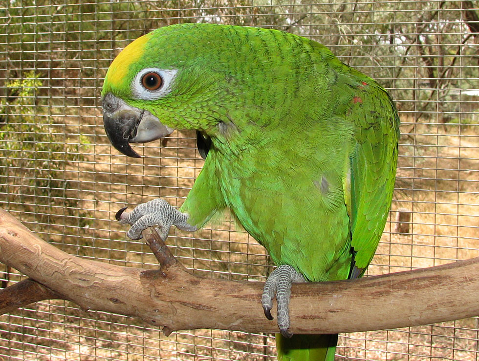 Yellow Naped Amazon