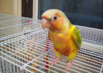 Pineapple green cheeked conures
