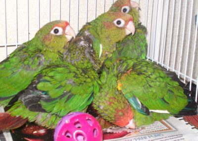 Rose crowned conures