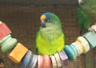 Peach fronted conure