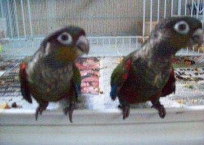 Crimson bellied conures