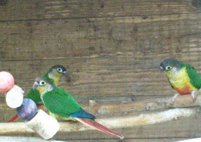 Yellow sided conures
