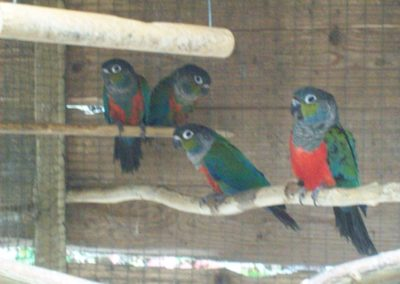 Crimson bellied conures