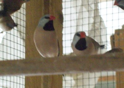 Hecks grassfinches