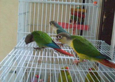 Green cheeked conures