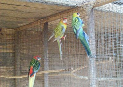 Golden mantle rosellas