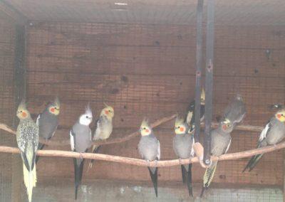 Adult cockatiels