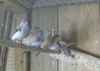 Silverbills