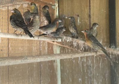 Mexican house sparrows